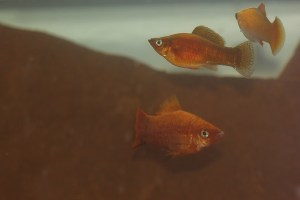 Juvenile red sailfin mollies.