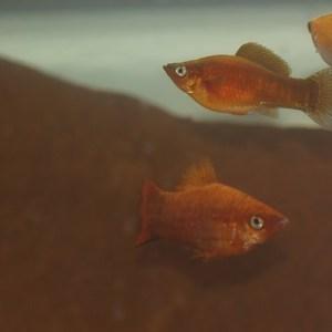 Juvenile red sailfin mollies.