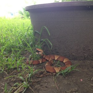 A copperhead eating a cicada in our yard.