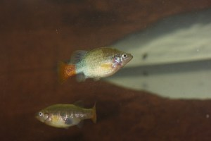 Photo of Xenotoca eiseni, Rio Tamazula pair
