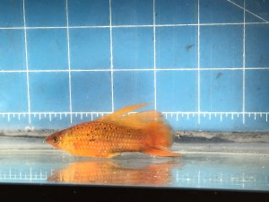 Red Freckled Hifin Swordtail