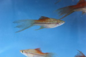 Photo of a female Veiltail Blushing Swordtail.