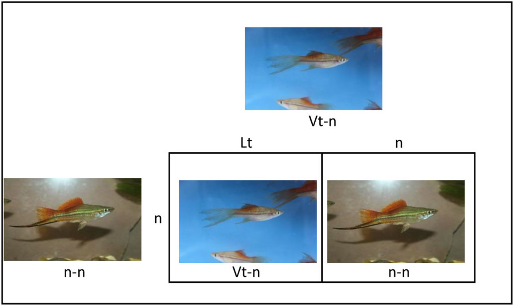 Photo of Punnett square showing mating of female Blushing Veiltail Swordtail to male Blushing Swordtail.
