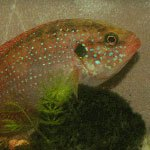 Menu-African-Cichlid-other