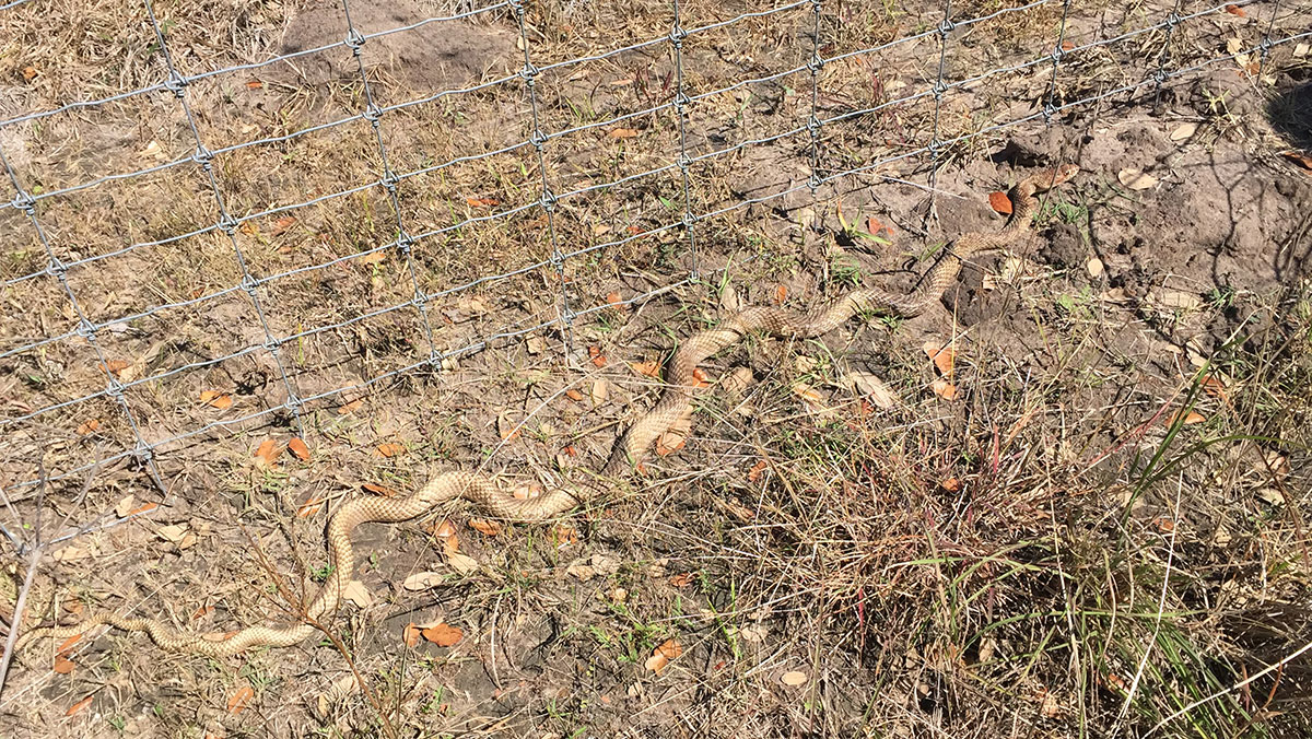 """Photo of a (probably male) Masticophis flagellum, the Coachwhip Snake next to a fence. The fence's meshes are 6.5"""" long, so straightened out, this snake is well over five feet long."""