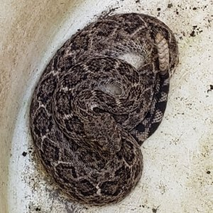 Photo of a male Crotalus atrox (Western Diamondback Rattlesnake in a barrel after being captured in our backyard.
