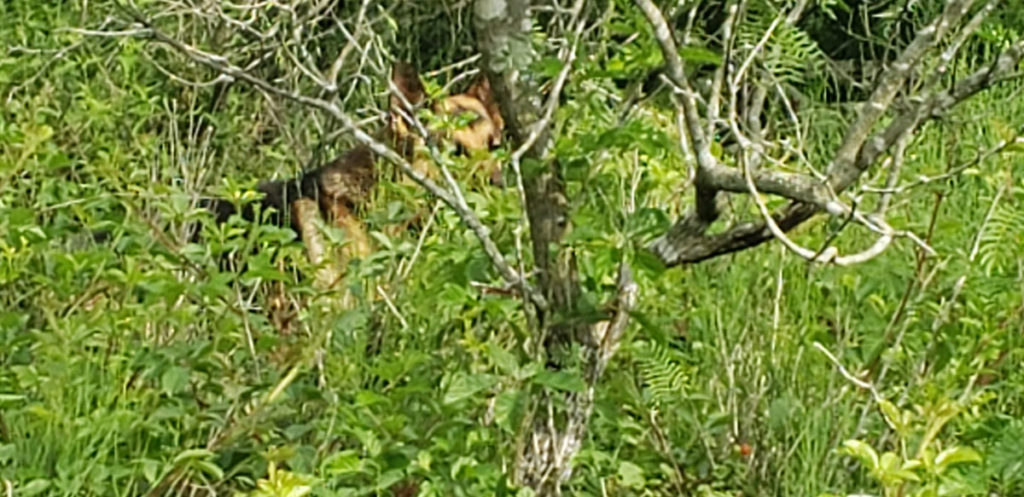Photo of Oso standing in dewberry patch to show size of vines. The tree is a mesquite, not a dewberry.