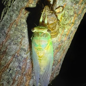 Photo of a cicada after eclosing from its nymph stage.