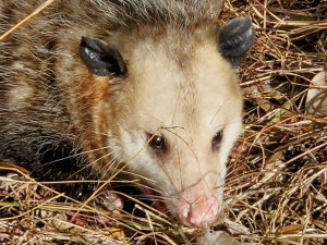 Photo of a mature male possum (Didelphis virginiana) just after being released from a live trap.