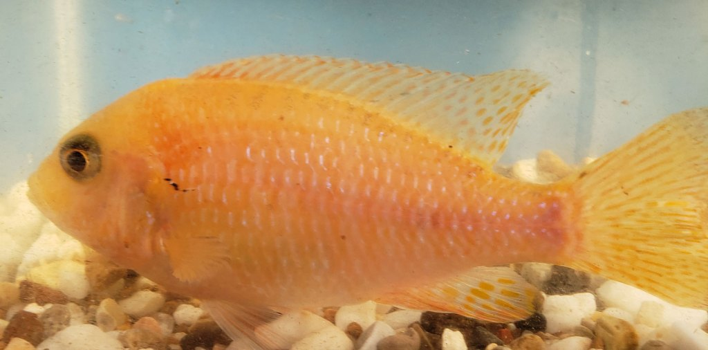 Photo of a Female Red Dragon Blood Peacock Cichlid.