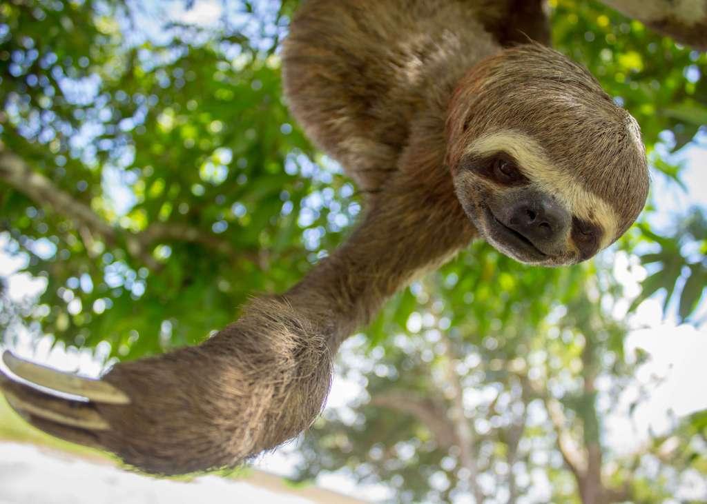 sloth-peruvian-amazon