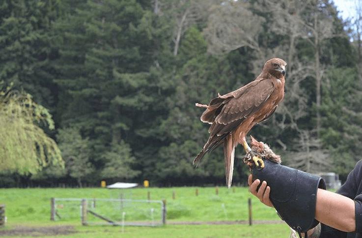 swampharrier-bird-new-zealand