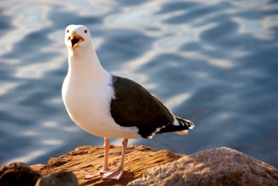 Close up of a Black-backed Gull