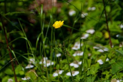 Wildflowers on Cape Breton