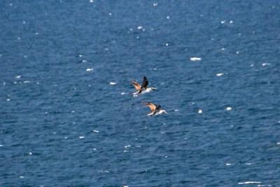 Cormorants flying in formation