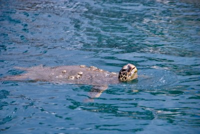 Another sea turtle in Kona harbor