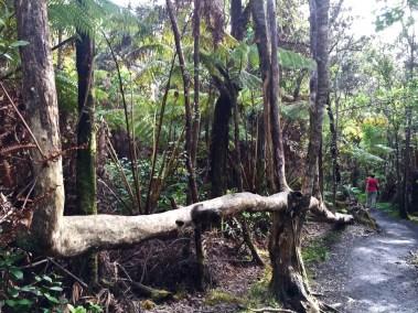 """hāpu'u the """"tree that walks"""""""