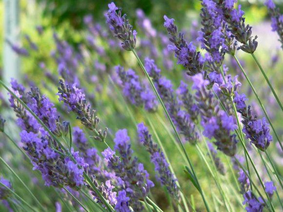 Provence-i levendulák :)