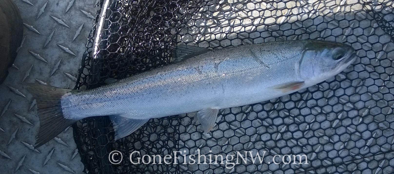 Lake sammamish fishing report gone fishing nw for Lake sammamish fishing