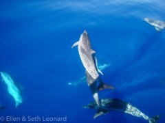 Dolphins in the calm