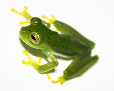 Emerald Glass Frog by Brian Gratwicke