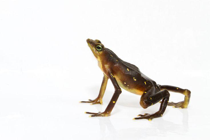 Pirri harlequin frog by Brian Gratwicke