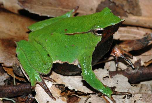 darwin-frog-large