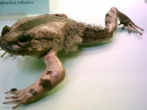 Trichobatrachus_robustus