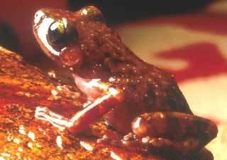 Eleutherodactylus_guttilatus