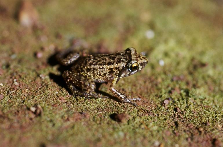 Greenhouse Frog