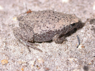 Eastern Narrowed Mouth Toad
