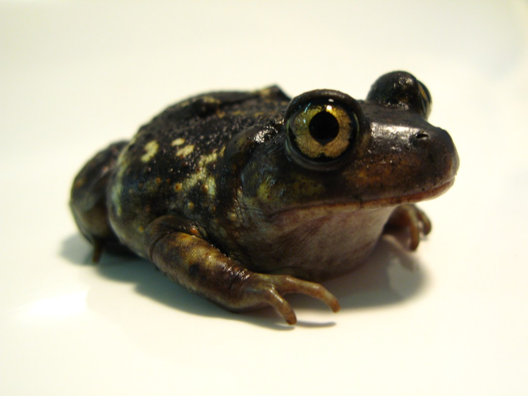 American_Eastern_Spadefoot_Toad.JPG