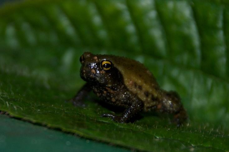 Long-fingered Forest Frog by Iris Starnberger