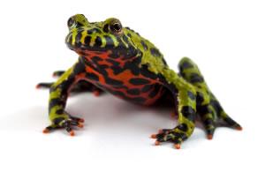 fire-bellied-toads_1-3.jpg