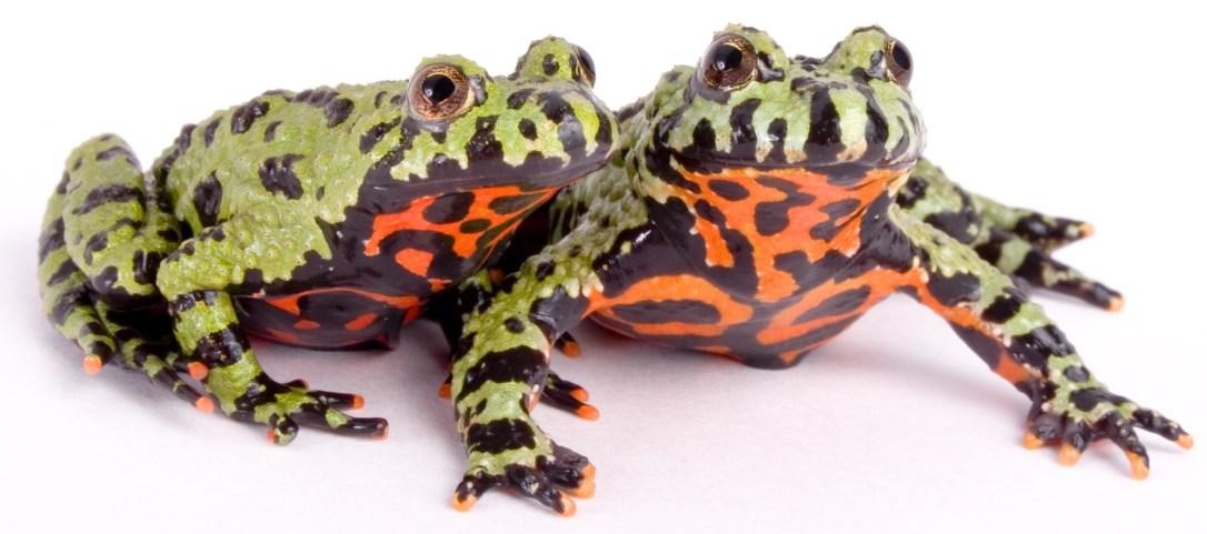 fire-bellied-toads-shutterstock_1724199