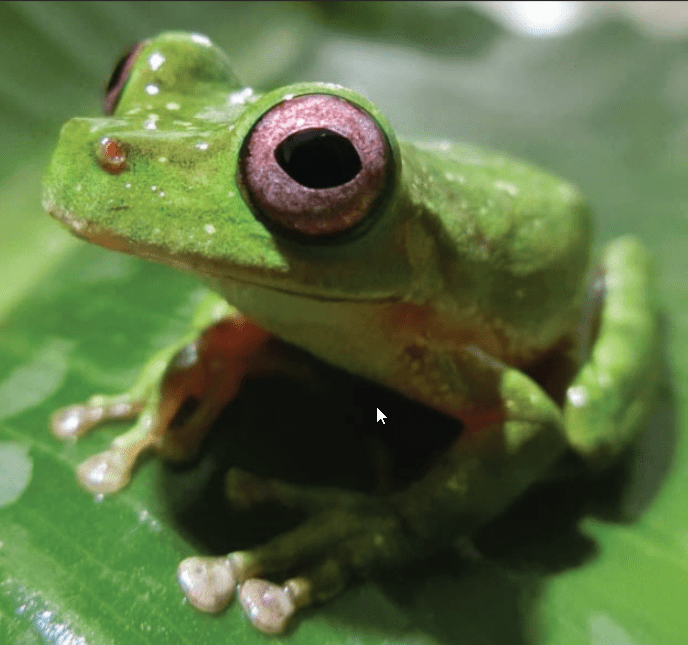 mexicantreefrog