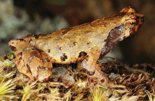 elf frog