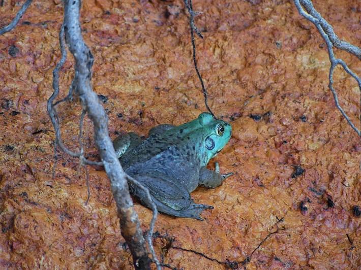 blue-bullfrog_2017_06_28