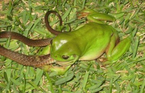 frog eats snake