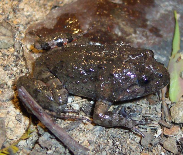 tuskedfrog
