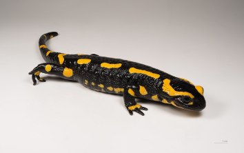 Fire Salamander by Didier Descouens