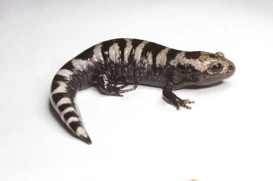 Marbled Salamander by Brian Gratwicke