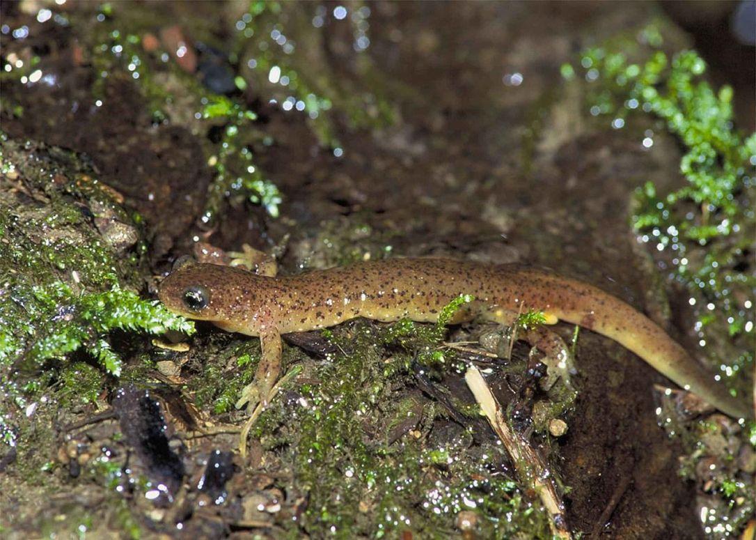Olympic Torrent Salamander