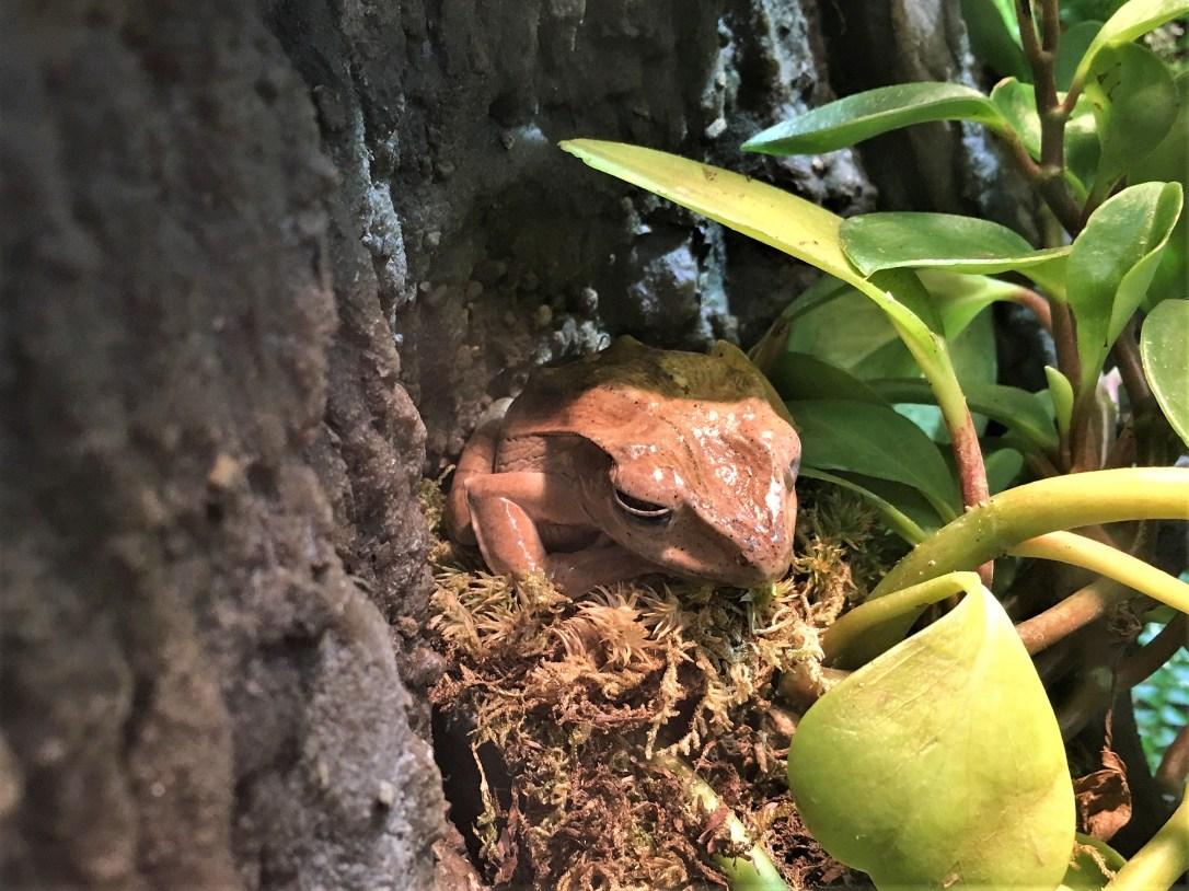 borneoearedfrog