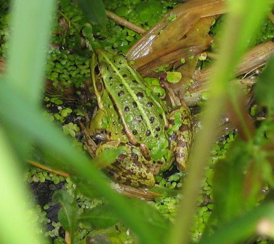 poolfrog