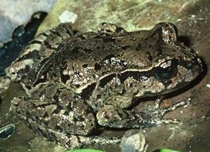 Maud_Island_frog_DOC