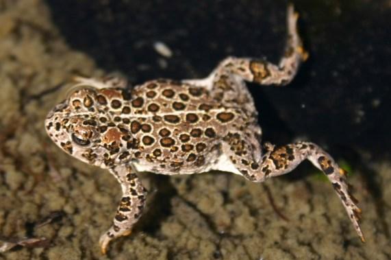 Female Yosemite Toad