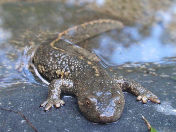Pyrenean Brook Salamander