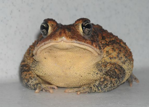 southern_toad