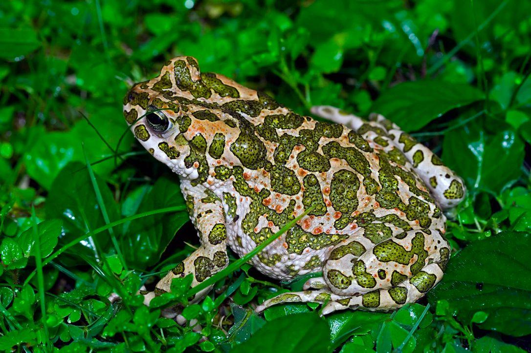 euro_green_toad.jpg